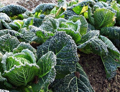 How to protect your garden from frost